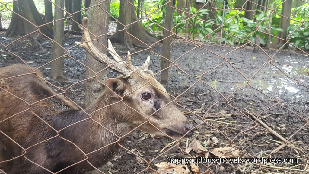 Spotted Deer - Siliman University's Mini Zoo