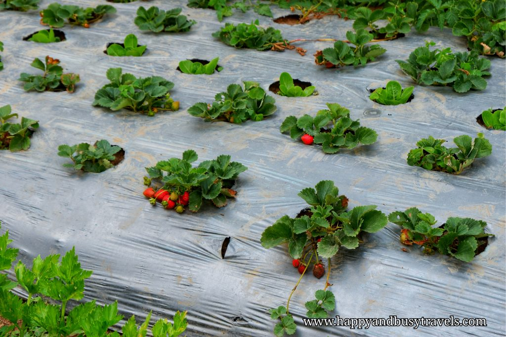 strawberry farm - Happy and Busy Travels to Sagada