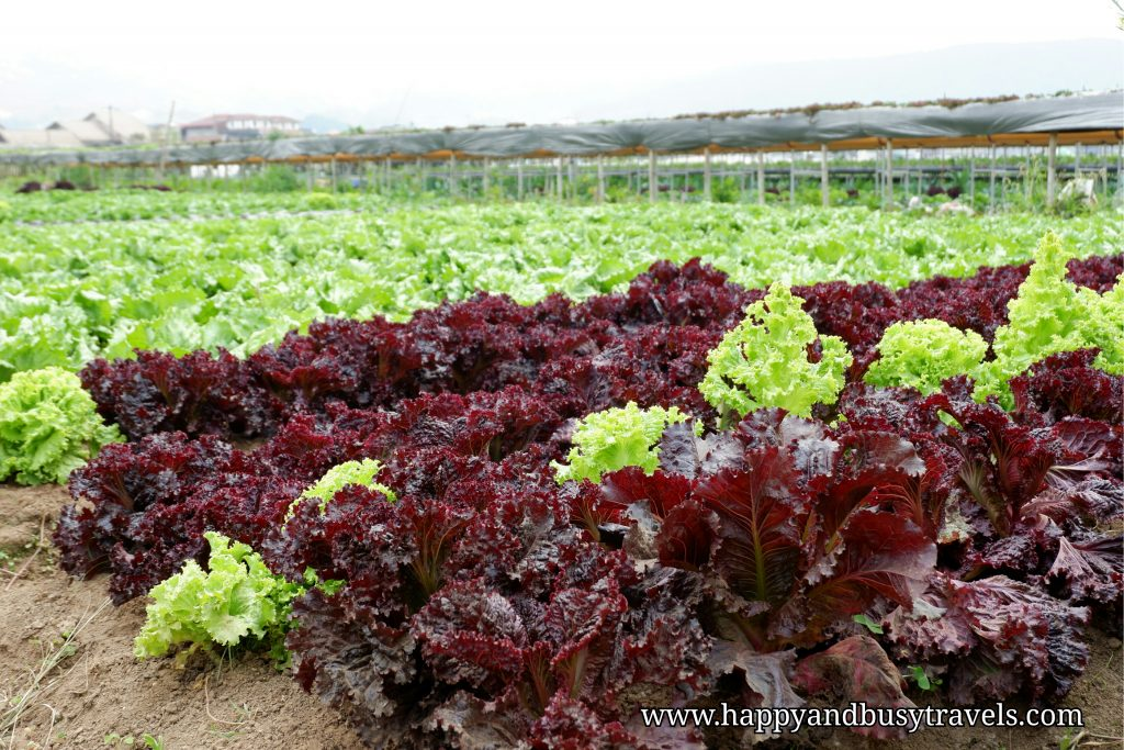 letuce in strawberry farm - Happy and Busy Travels to Sagada