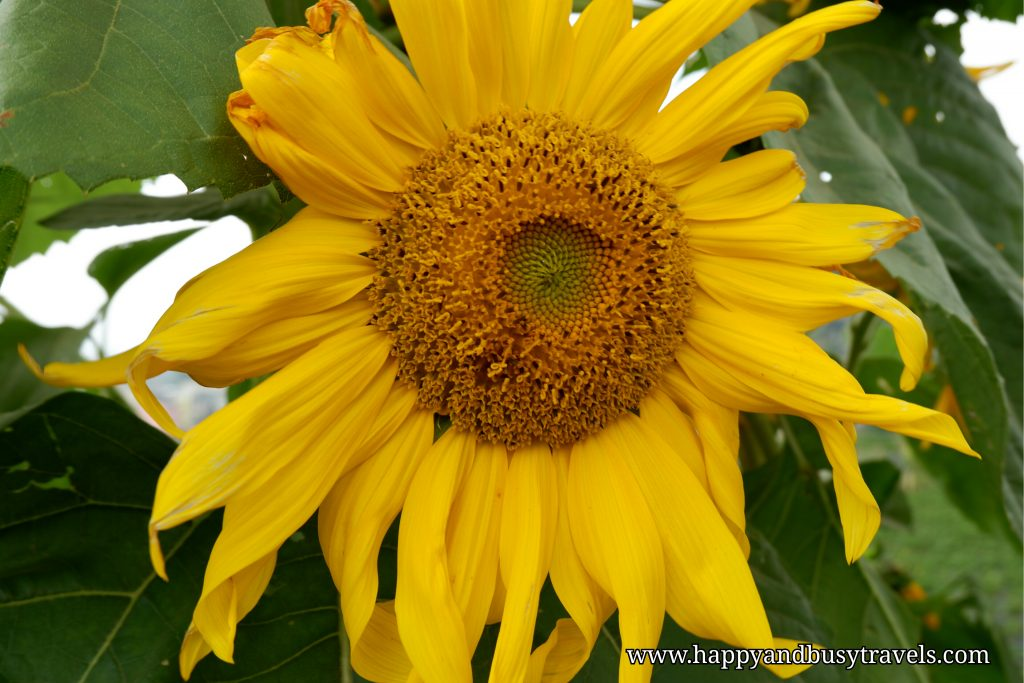 sunflower strawberry farm - Happy and Busy Travels to Sagada