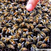 Bohol Bee Farm Happy and Busy Travels Queen Bee