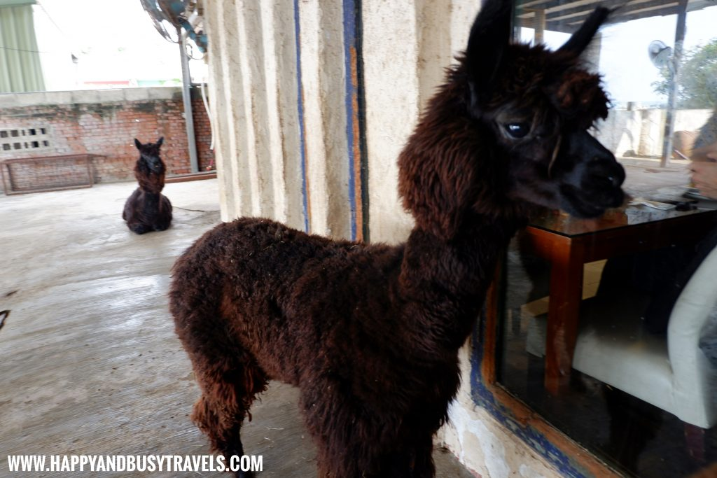OIA Cafe, Alpaca Cafe, animal cafe - Happy and Busy Travels to Taiwan