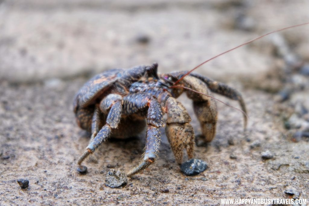 Coconut Crab at the Ocean's Edge Resort Carabao Island Romblon Review Happy and Busy Travels