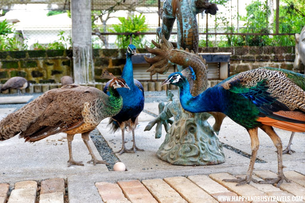 Peacocks and the egg Yoki's Farm Mendez Cavite Happy and Busy Travels Review
