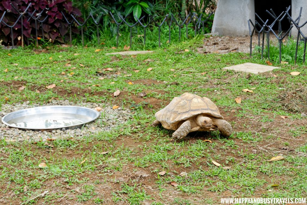 Tortoise in Yoki's Farm Mendez Cavite Happy and Busy Travels Review