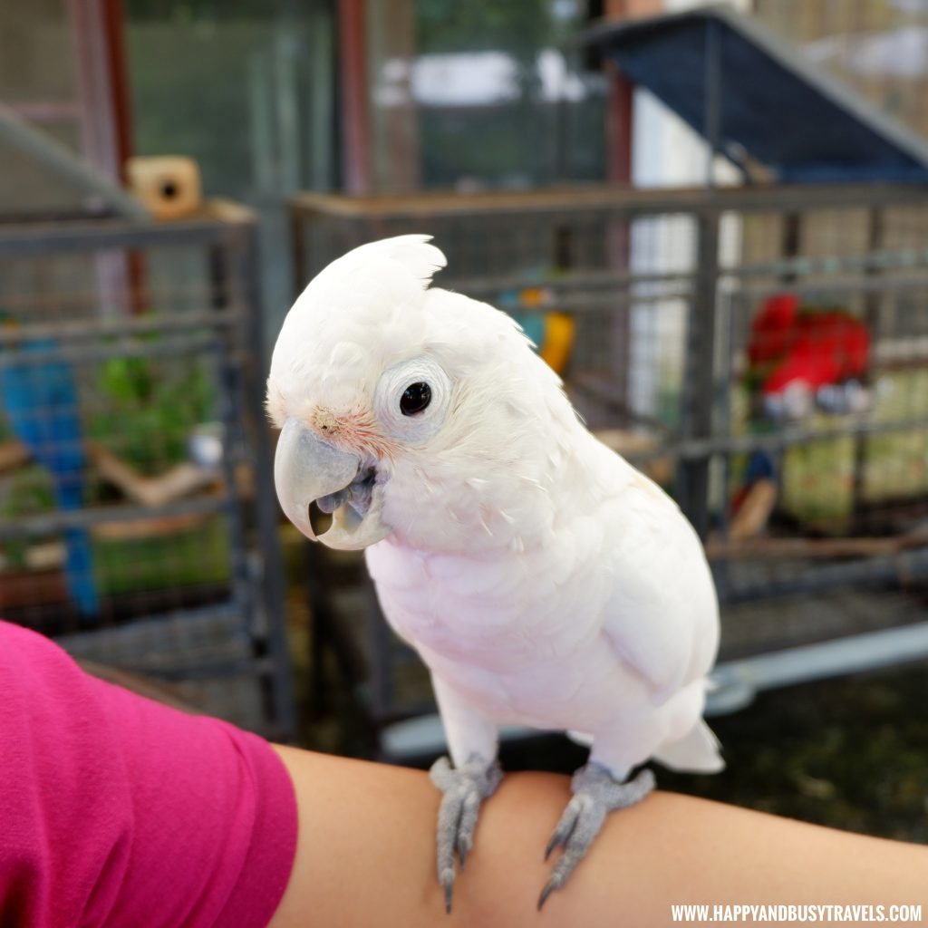 White Cockatoo in Yoki's Farm Mendez Cavite Happy and Busy Travels Review