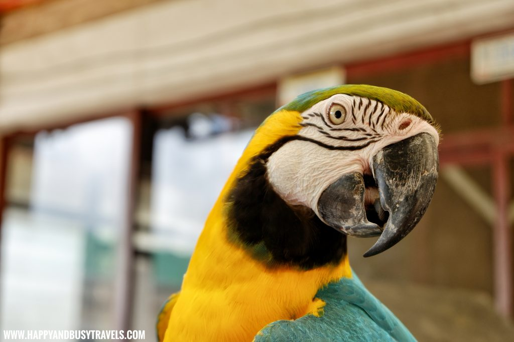 Blue throated Macaw parrot in Yoki's Farm Mendez Cavite Happy and Busy Travels Review