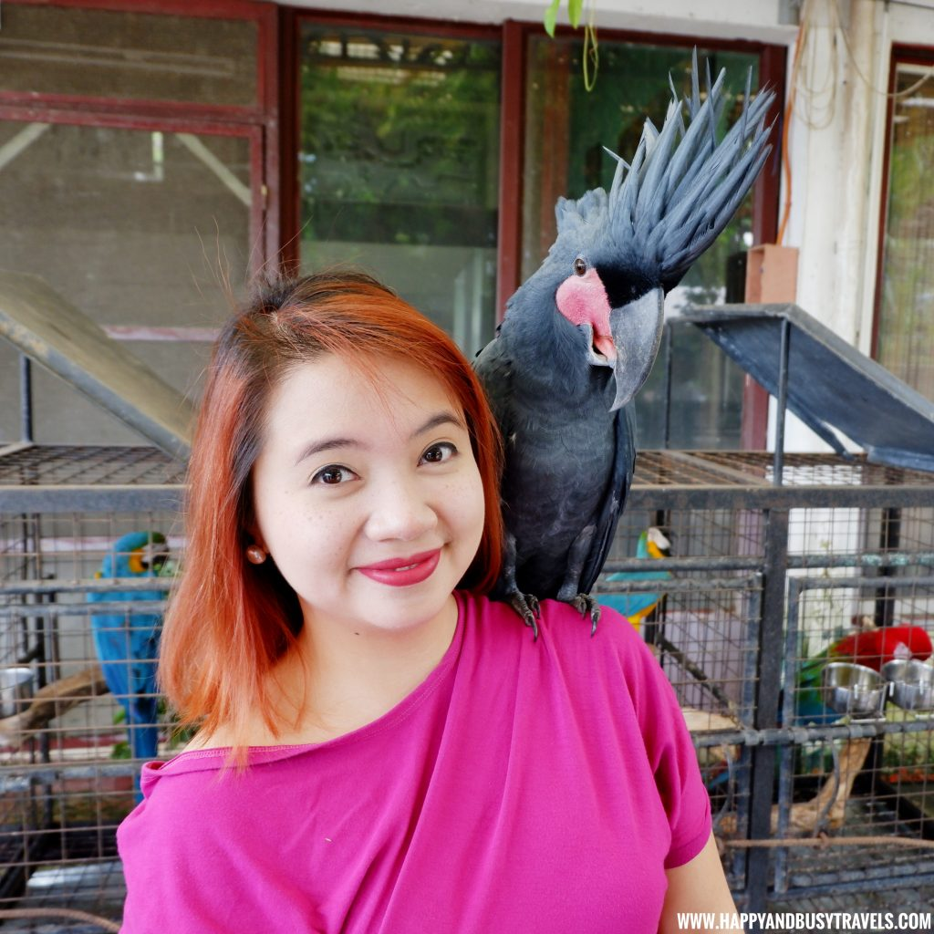 Palm Cockatoo in Yoki's Farm Mendez Cavite Happy and Busy Travels Review
