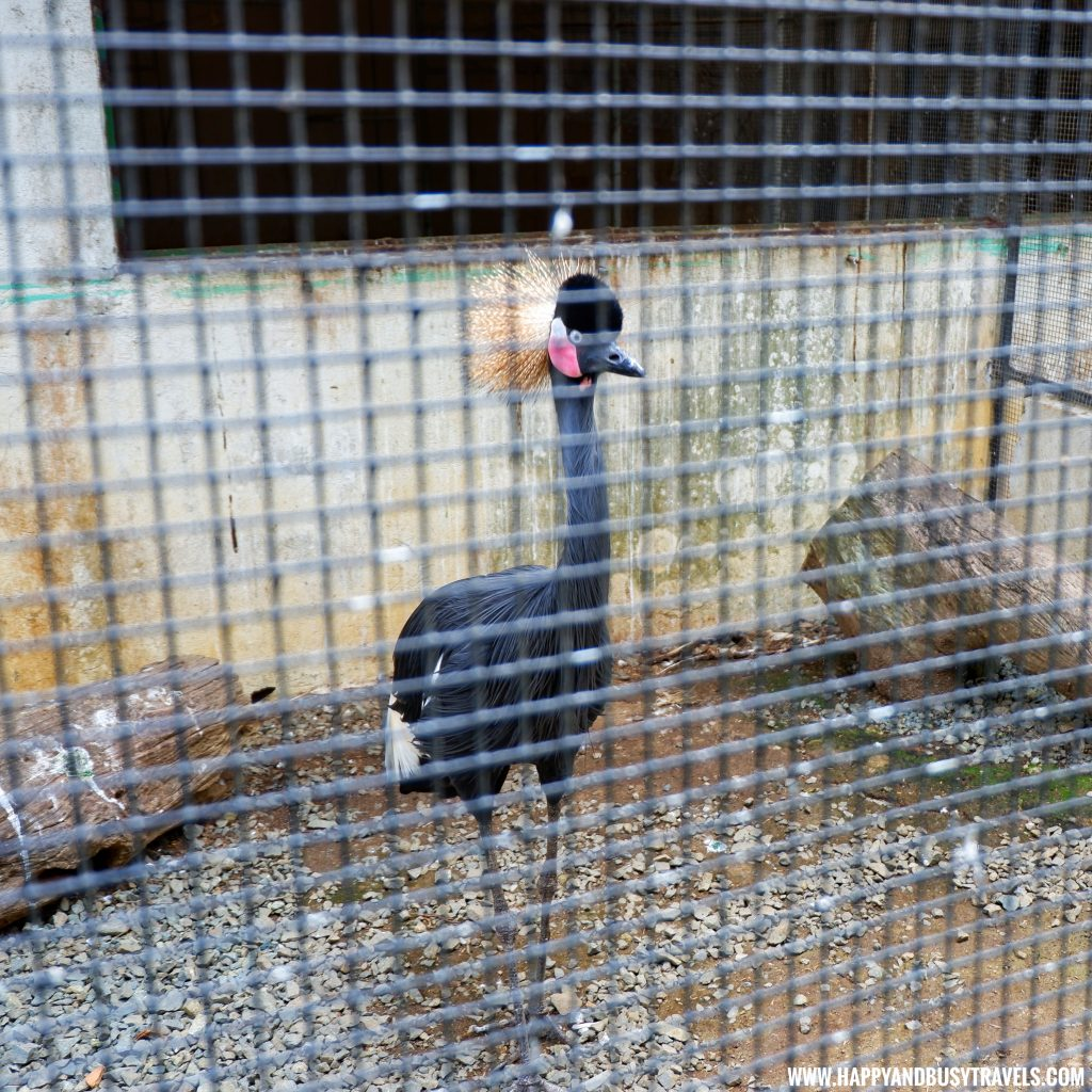 Grey Crowned Crane in Yoki's Farm Mendez Cavite Happy and Busy Travels Review