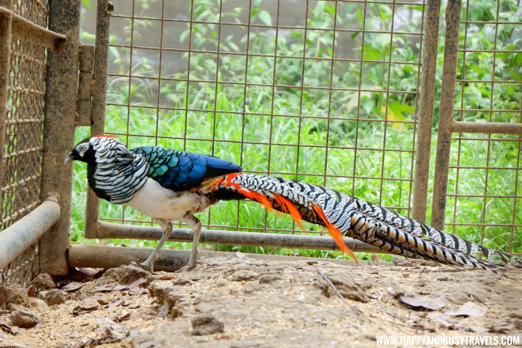 Lady Amherst Pheasant Yoki's Farm Mendez Cavite Happy and Busy Travels Review