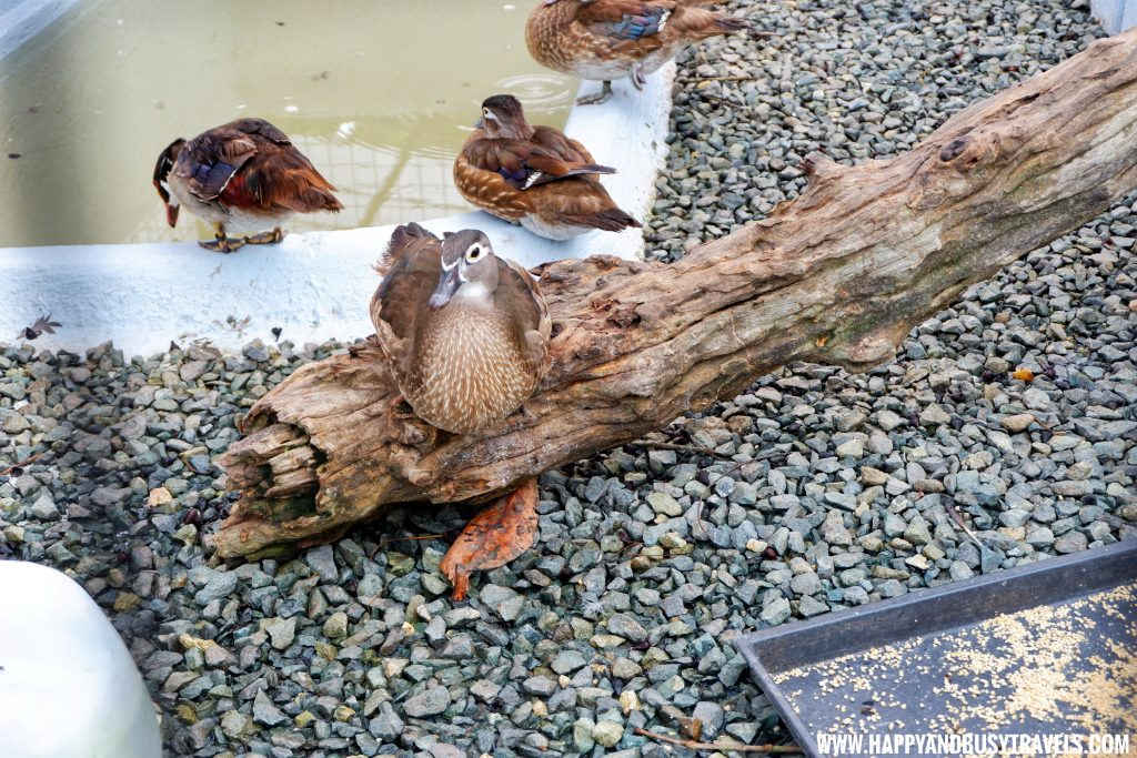 Ducks in Yoki's Farm Mendez Cavite Happy and Busy Travels Review