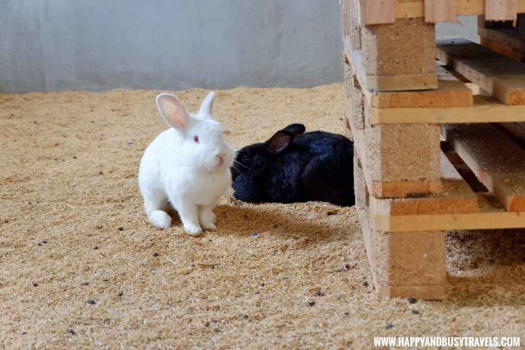 Rabbits in Yoki's Farm Mendez Cavite Happy and Busy Travels Review