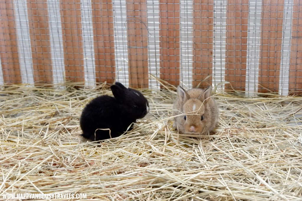 Baby rabbits or kit in Yoki's Farm Mendez Cavite Happy and Busy Travels Review