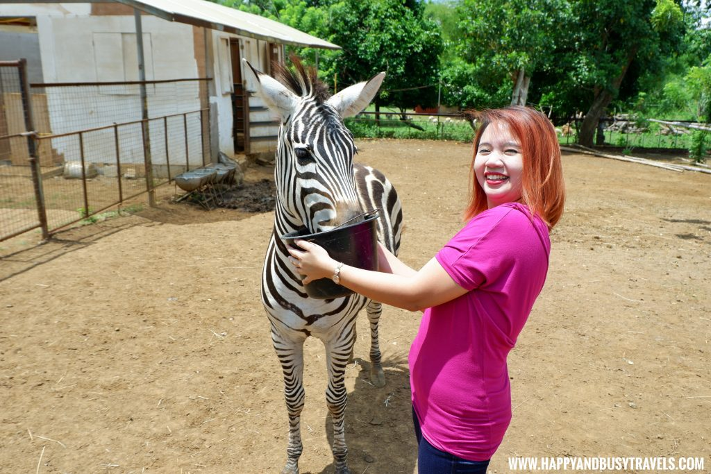Zebra experience in Yoki's Farm Mendez Cavite Happy and Busy Travels Review