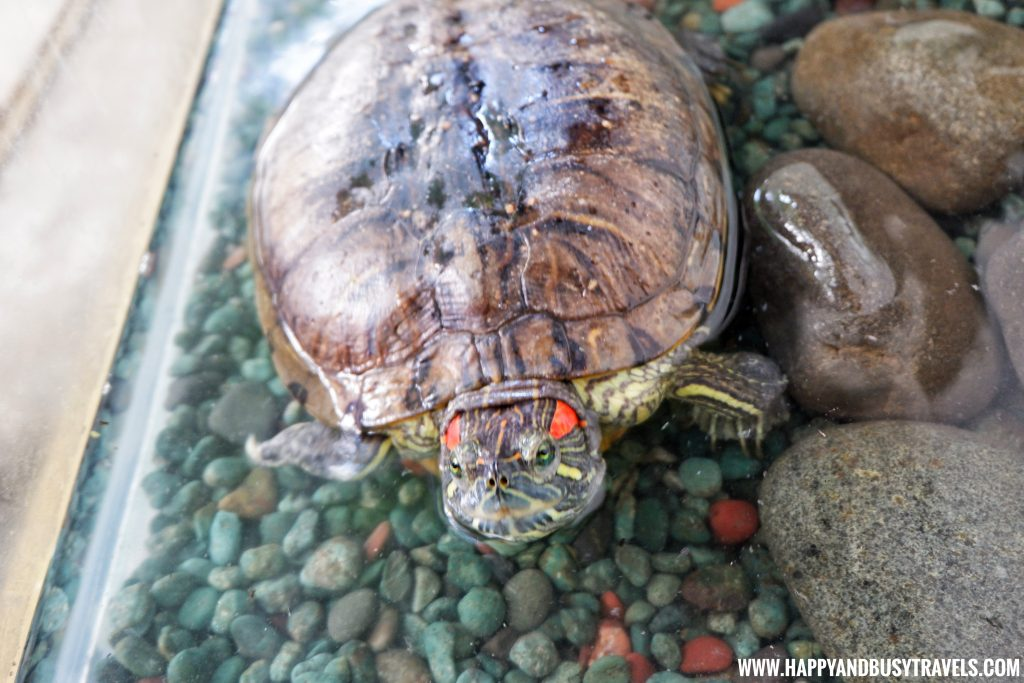 Red eared slider turtle in Yoki's Farm Mendez Cavite Happy and Busy Travels Review