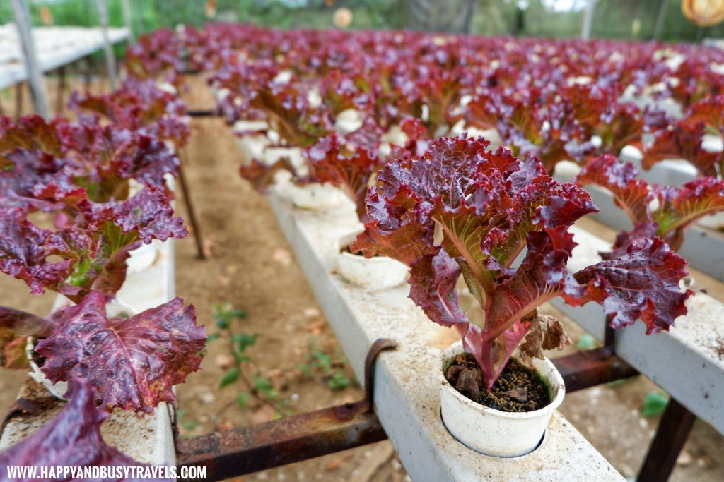 Lolla Rosa Lettuce in Yoki's Farm Mendez Cavite Happy and Busy Travels Review
