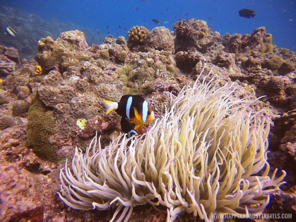 Clown fish duirng our Introduction to Scuba Diving in Summer Cruise Dive Resort Batangas review of Happy and Busy Travels