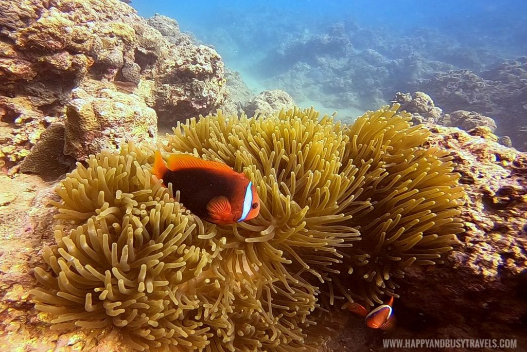 Clown fish and sea anemone during Introduction to Scuba Diving in Summer Cruise Dive Resort Batangas review of Happy and Busy Travels