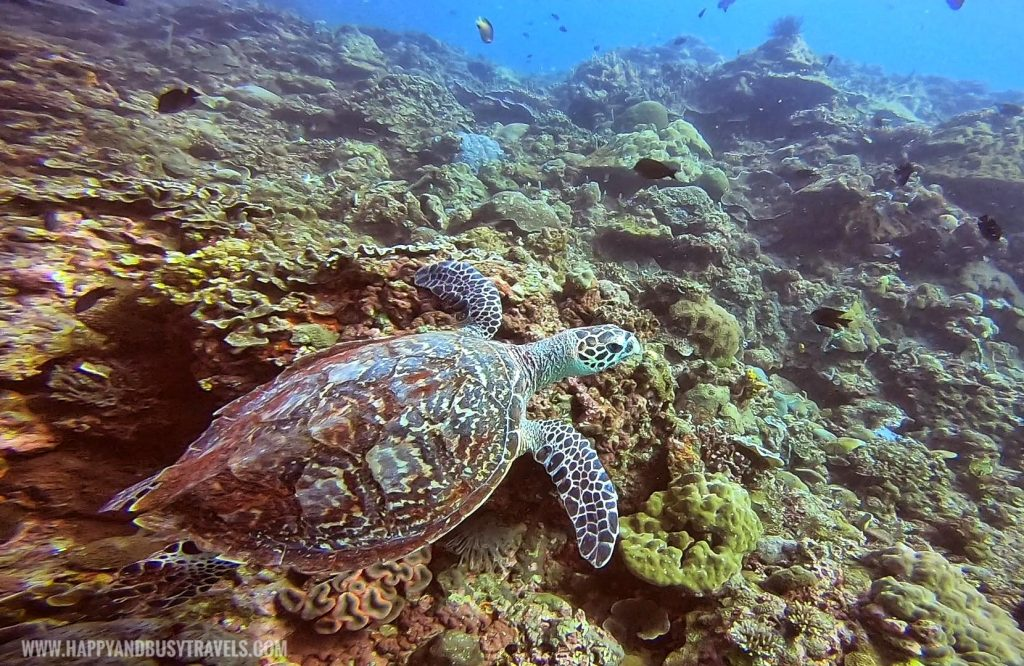Green Sea Turtle Introduction to Scuba Diving in Summer Cruise Dive Resort Batangas review of Happy and Busy Travels