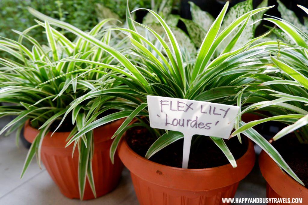 flex lily lourdes silang united farmers association Happy Garden SM Dasmarinas Cavite Plantito plantita plants expo and fresh produce happy and busy travels experience